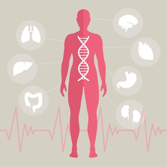 Der menschliche Körper und seine Organe