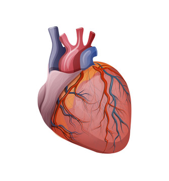 Das menschliche Herz – Organe.de