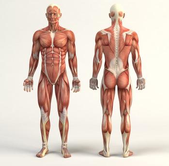 Die Muskulatur – Organe.de