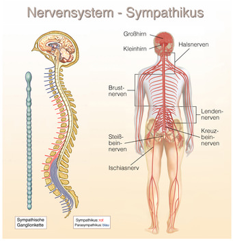 Das Nervensystem – Organe.de